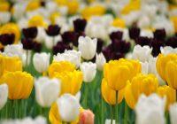 Величественное царство тюльпанов
