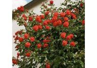 Розы: посадка капризных принцесс сада