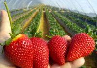 Свой бизнес: выращивание клубники в ПЭТ мешках